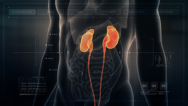 Anatomy of Human Male Kidneys on Futuristic Medical Interface dashboard. Seamless Loop. Animation.